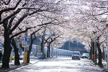 たまプラーザの桜並木